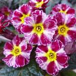 Primula 'Dark Rosaleen' - Primula 'Dark Rosaleen' - Sleutelbloem