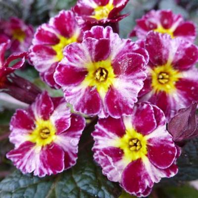 Primula 'Dark Rosaleen' -