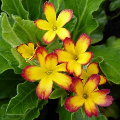 Primula 'Oak Leaf Yellow Picotee' -