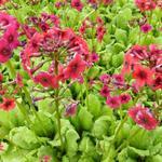 Primula japonica 'Miller's Crimson' - Sleutelbloem - Primula japonica 'Miller's Crimson'