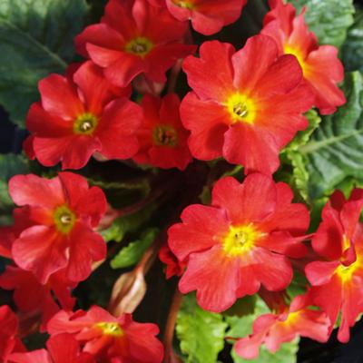 Primula 'Wanda Tomato Red' -