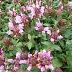 Prunella grandiflora 'Pink Loveliness' - Bijenkorfje, Heelkruid - Prunella grandiflora 'Pink Loveliness'