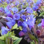 Pulmonaria angustifolia 'Blaues Meer' - Longkruid - Pulmonaria angustifolia 'Blaues Meer'