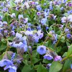 Pulmonaria angustifolia 'Blue Ensign' - Longkruid