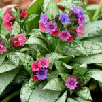 Pulmonaria 'Silver Bouquet' - Longkruid