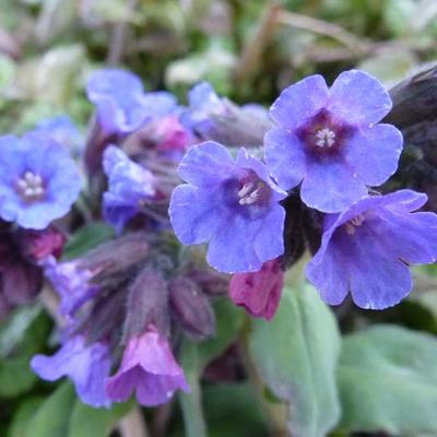 Pulmonaria officinalis - Gevlekt longkruid