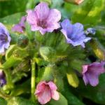Pulmonaria officinalis 'Wuppertal' - Gevlekt longkruid