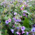 Pulmonaria saccharata 'Mrs. Moon' - Longkruid - Pulmonaria saccharata 'Mrs. Moon'