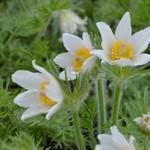 Pulsatilla vulgaris 'Alba' - Wildemanskruid - Pulsatilla vulgaris 'Alba'