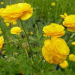 Ranunculus acris 'Multiplex' - Scherpe boterbloem / Gouden knoopje - Ranunculus acris 'Multiplex'