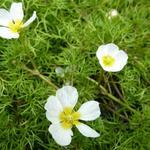 Ranunculus aquatilis - Waterranonkel - Ranunculus aquatilis