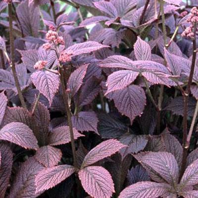 Rodgersia pinnata 'Chocolate Wings'  - Kijkblad