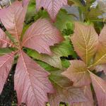 Kijkblad, Schout bij Nacht - Rodgersia podophylla 'Rotlaub'