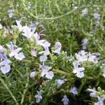 Rosmarinus officinalis 'Capri' - Rosmarinus officinalis 'Capri' -  Kruiprozemarijn