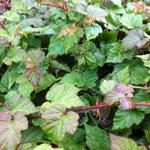 Rubus tricolor - Braambes, Chinese braambes - Rubus tricolor