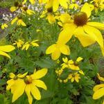 Rudbeckia nitida 'Herfstsonne' - Zonnehoed - Rudbeckia nitida 'Herfstsonne'