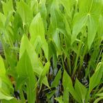 Sagittaria latifolia - Breedbladig pijlkruid - Sagittaria latifolia