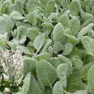 Salvia argentea - Zilversalie - Salvia argentea