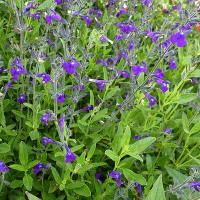 Salvia coahuilensis -