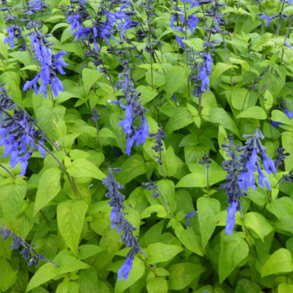 Salvia coerulea 'Black and Blue'