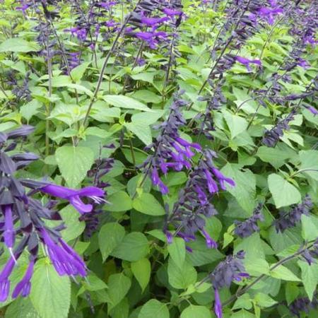 Salie - Salvia 'Amistad'   Vaste planten   Planten online kopen ...