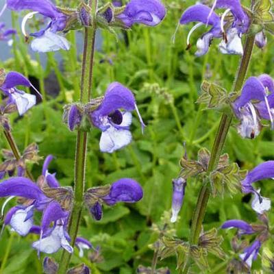 Salvia 'Madeline' -
