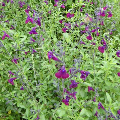 Salvia 'Nachtvlinder' - Salie - Salvia 'Nachtvlinder'