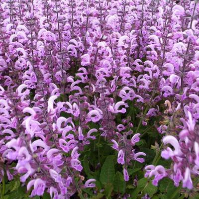Salvia pratensis 'Pink Delight' -