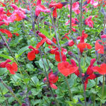 Salvia 'Royal Bumble' - Salie