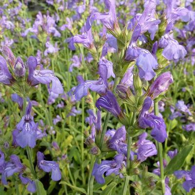 Salvia lavandulifolia -