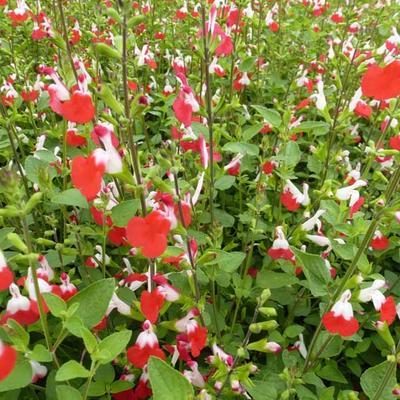 Salvia x jamensis 'Hot Lips' -