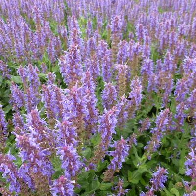 Salvia nemorosa 'Blauhügel' - Salie - Salvia nemorosa 'Blauhügel'