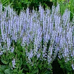 Salvia nemorosa 'Crystal Blue' - Salie