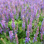 Salvia nemorosa 'Little Friesland' - Salvia nemorosa 'Little Friesland' - Salie