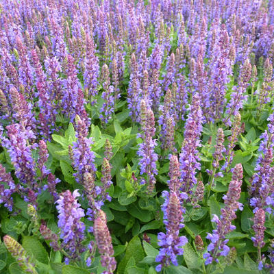 Salvia nemorosa 'Little Friesland' -