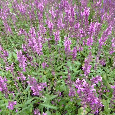 Salvia nemorosa 'Pink Friesland' -