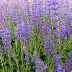 Salvia nemorosa 'Rügen' - Salie - Salvia nemorosa 'Rügen'