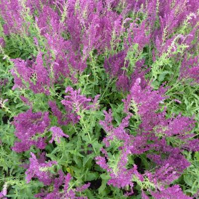 Salvia nemorosa 'Schwellenburg' -