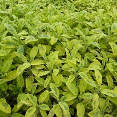 Salvia officinalis 'Aurea' -