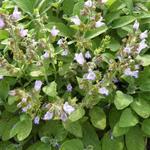 Salvia officinalis 'Berggarten' - Breedbladige salie - Salvia officinalis 'Berggarten'