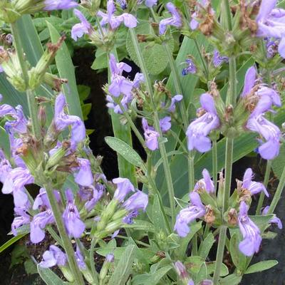 Salvia officinalis 'Grete Stölzle' -