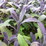 Salvia officinalis 'Purpurascens' - Salie, keukensalie - Salvia officinalis 'Purpurascens'
