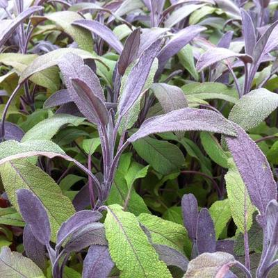 Salvia officinalis 'Purpurascens' - Salie, keukensalie