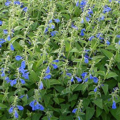 Salvia patens 'Royal Blue' -