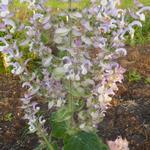 Salvia sclarea  - Scharlei - Salvia sclarea