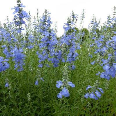 Salvia uliginosa 'African Skies' -