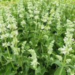 Salvia nemorosa 'Alba'  - Salie - Salvia nemorosa 'Alba'