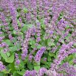 Salvia verticillata 'Endless Love' - Salie, Kranssalie - Salvia verticillata 'Endless Love'