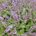 Salvia verticillata 'Hannays Blue' - Salie / Kranssalie - Salvia verticillata 'Hannays Blue'
