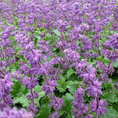Salvia verticillata 'Purple Rain' - Kranssalie - Salvia verticillata 'Purple Rain'